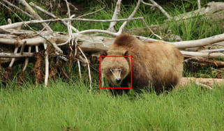 A grizzly bear standing in a grassy fiels in front of a fallen tree, with a red square round its face and triangle mapping out each of its eyes and its nose