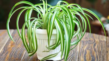 Chlorophytum in white flowerpot on wooden background