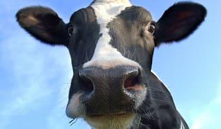 cow moooooo