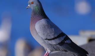 Pigeon, not Winston