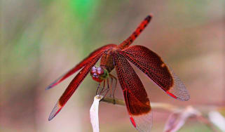 A blood-red dragonfly to depict the WPA3 protocol vulnerabilities